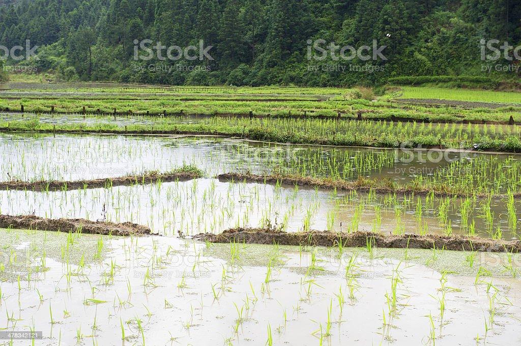 Rice Crop Terrace royalty-free stock photo