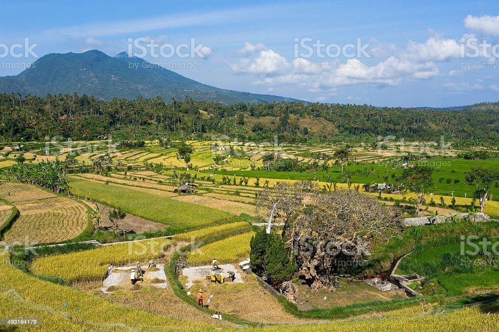 Rice crops in Bali stock photo
