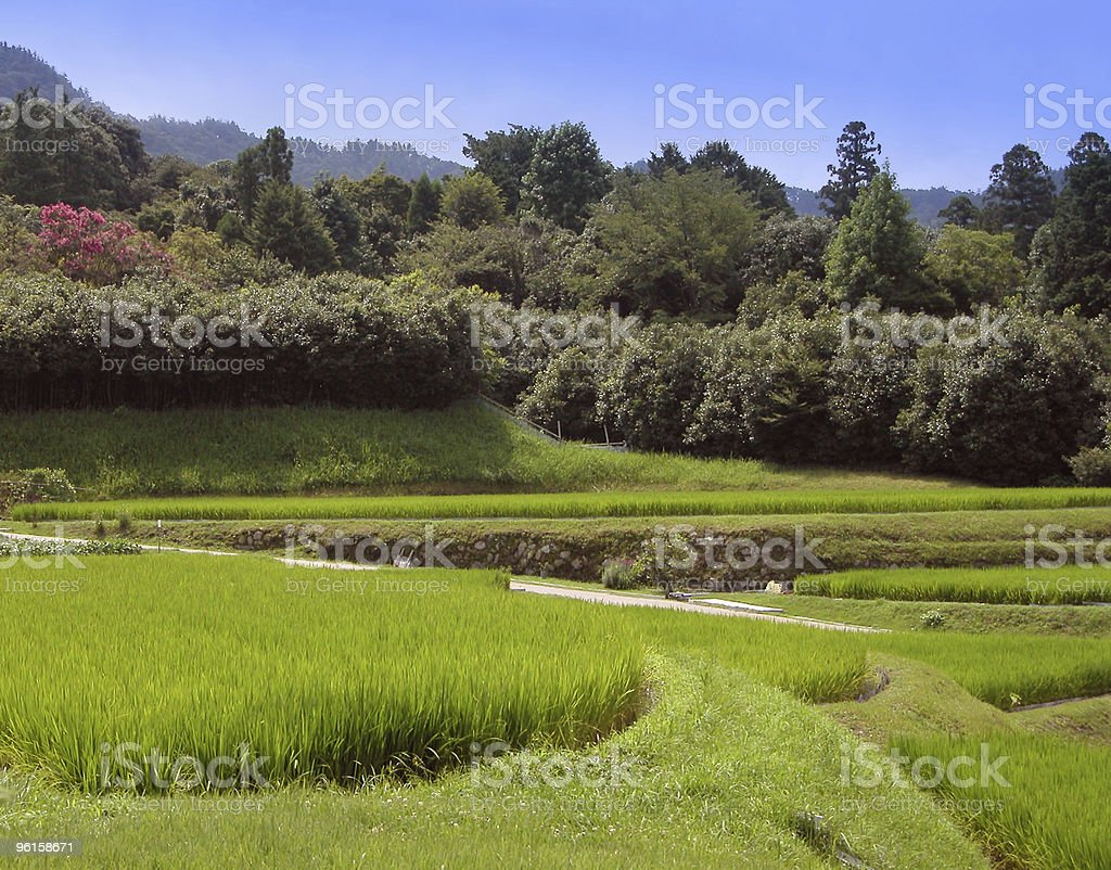 Rice culture royalty-free stock photo