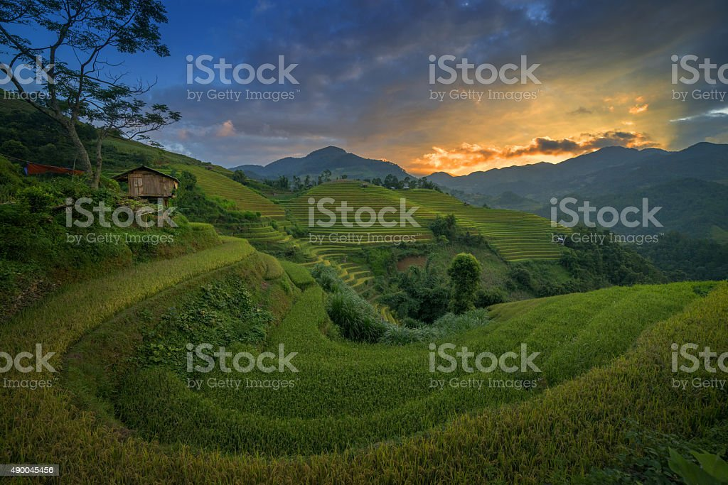 Rice Farm in Vietnam stock photo
