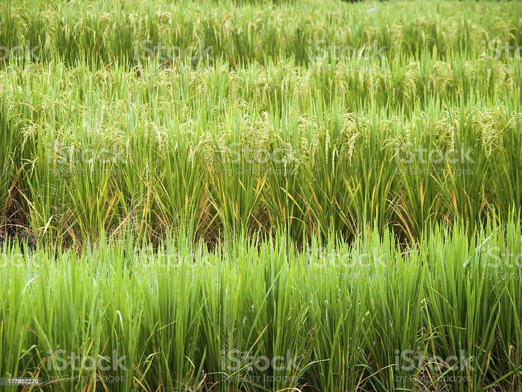Rice farm royalty-free stock photo