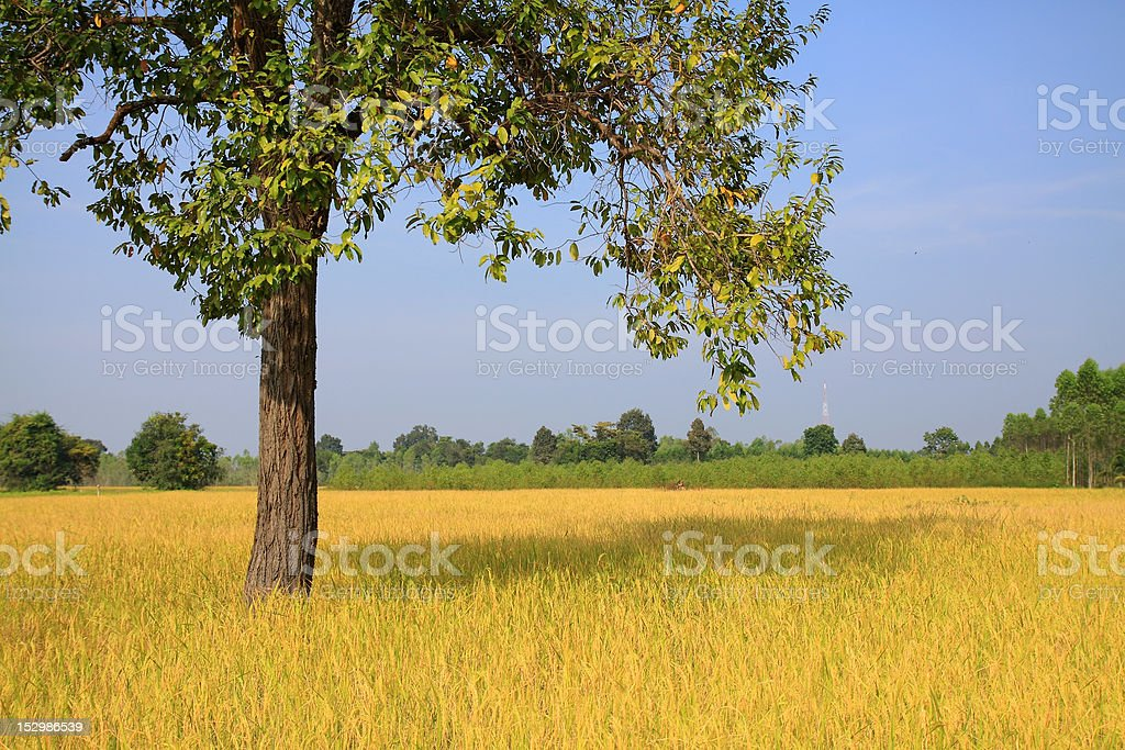 rice farm yellow bunch is splendid to fully harvest royalty-free stock photo