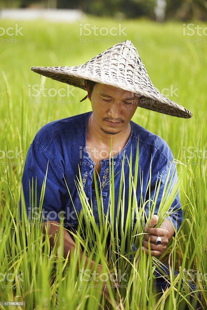 Rice farmer in Thailand harvesting royalty-free stock photo