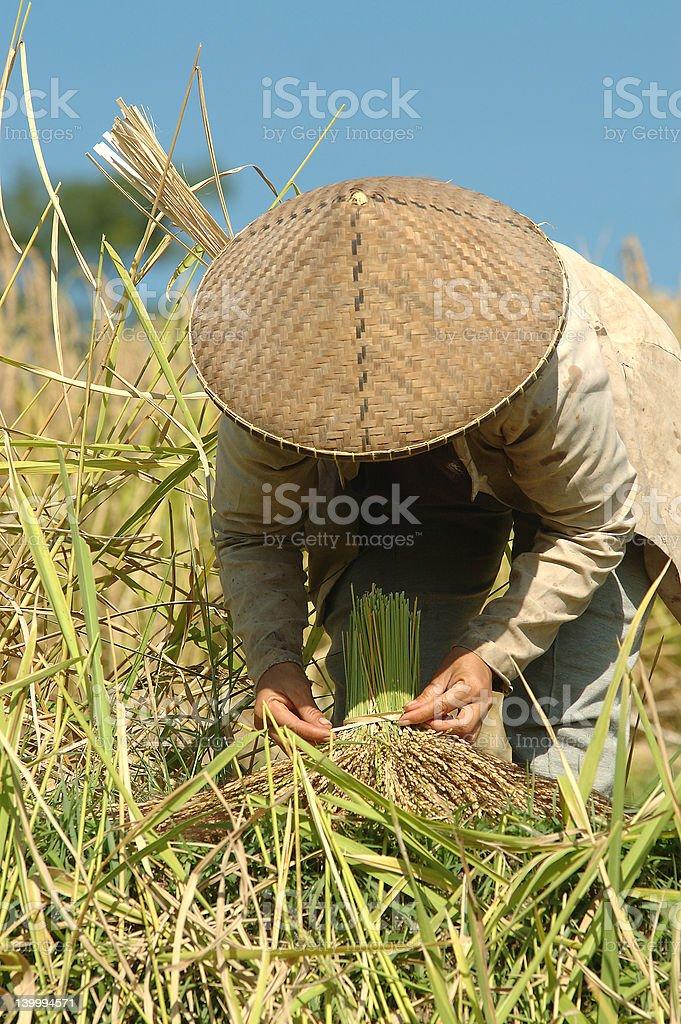 Rice farmer stock photo
