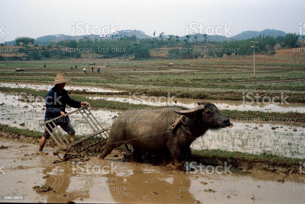 Rice farmer with water buffalo, Vietnam stock photo