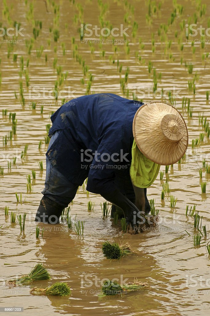 Rice Farmers 1 stock photo