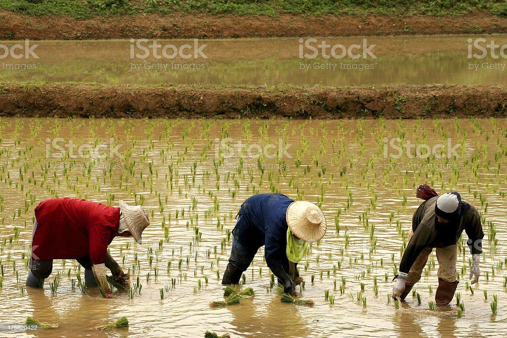 Rice Farmers 2 stock photo