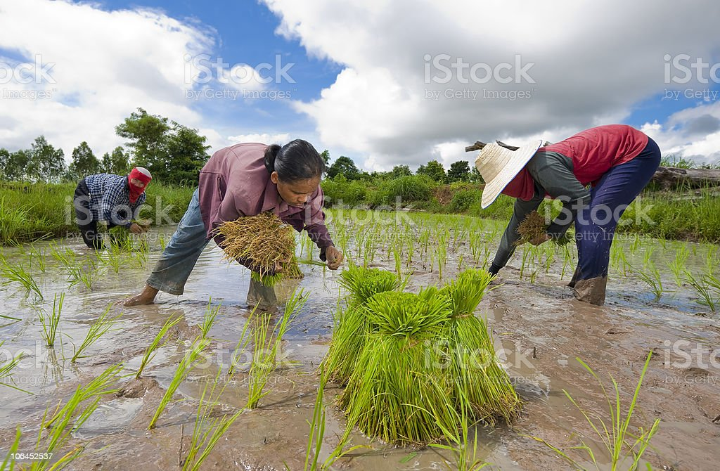 rice farmers in thailand royalty-free stock photo