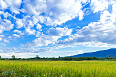 Rice field and blue sky, Agriculture north of Thailand