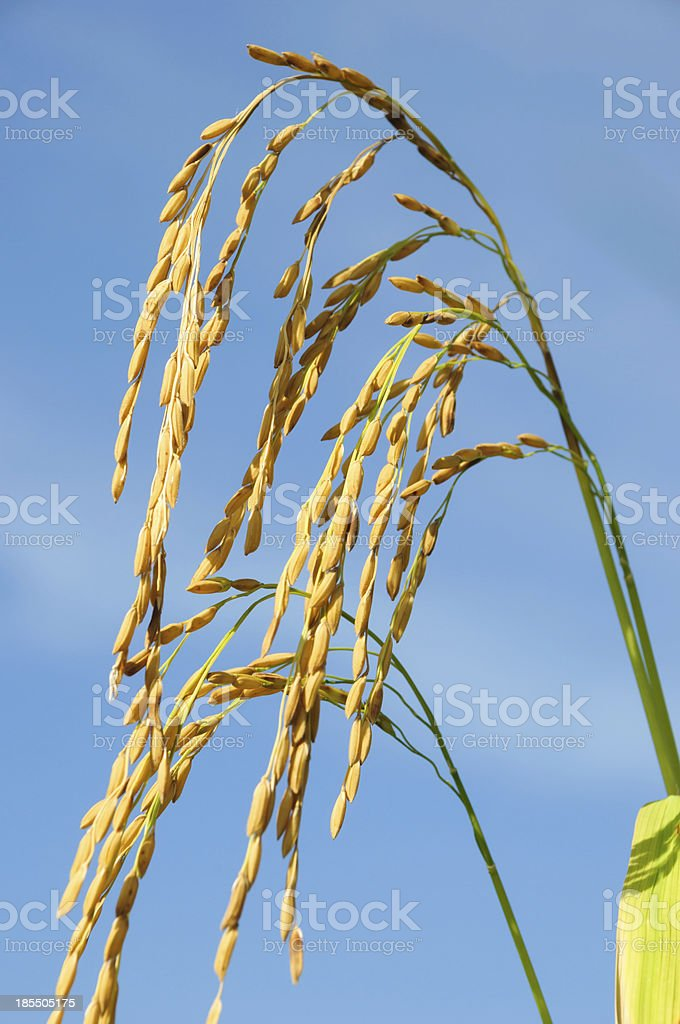 Rice field and blue sky with clouds royalty-free stock photo