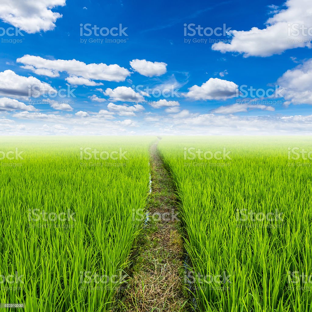 rice field and with clouds blue sky with space stock photo
