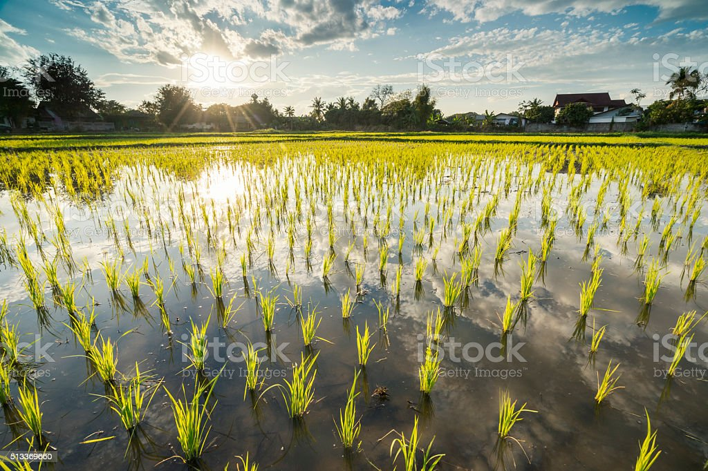 Rice field at sunrise stock photo