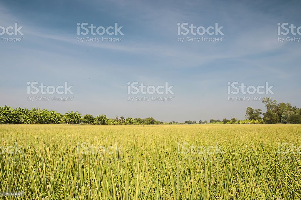 rice field before harvest under blue sky stock photo