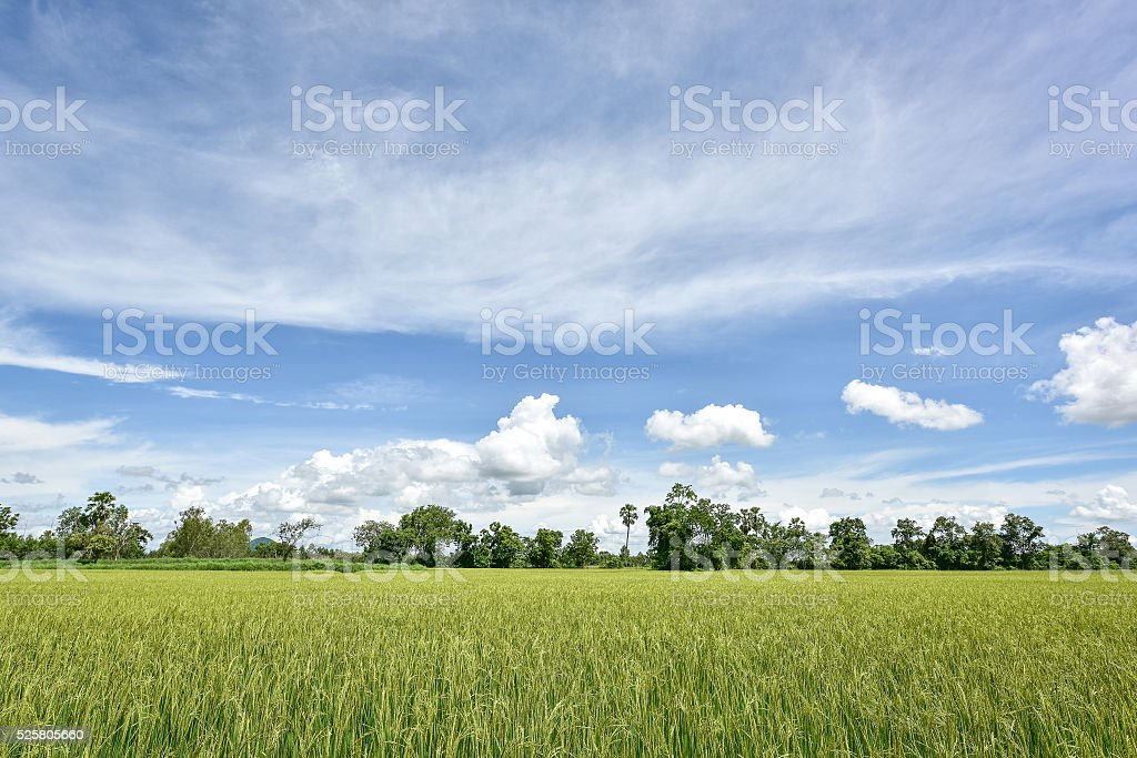 Rice field cloudy blue sky stock photo