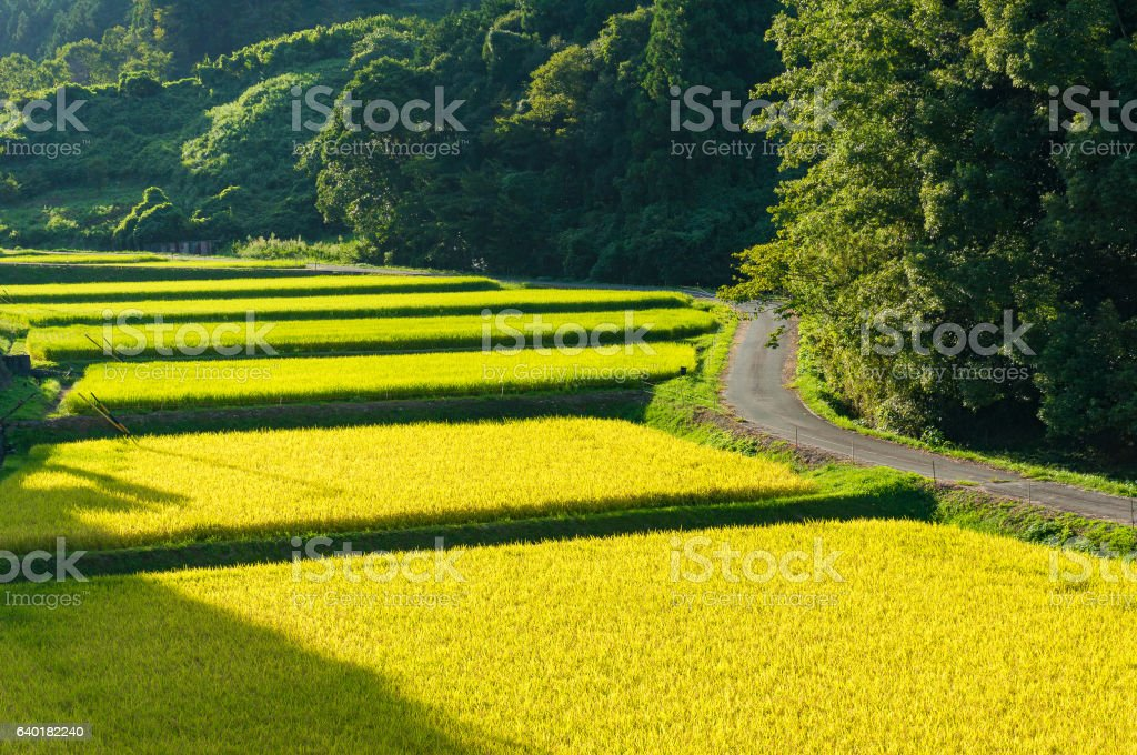Rice field farm in Japanese countryside stock photo