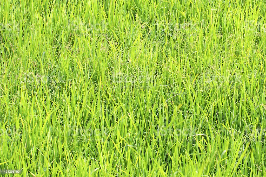 Rice Field For Background. stock photo