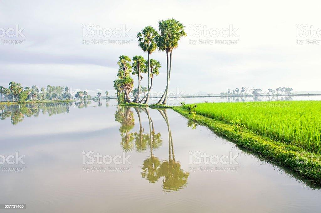 Rice field in flooding season, Mekong Delta, Vietnam stock photo