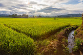 Rice field in northern Thailand at sunrise