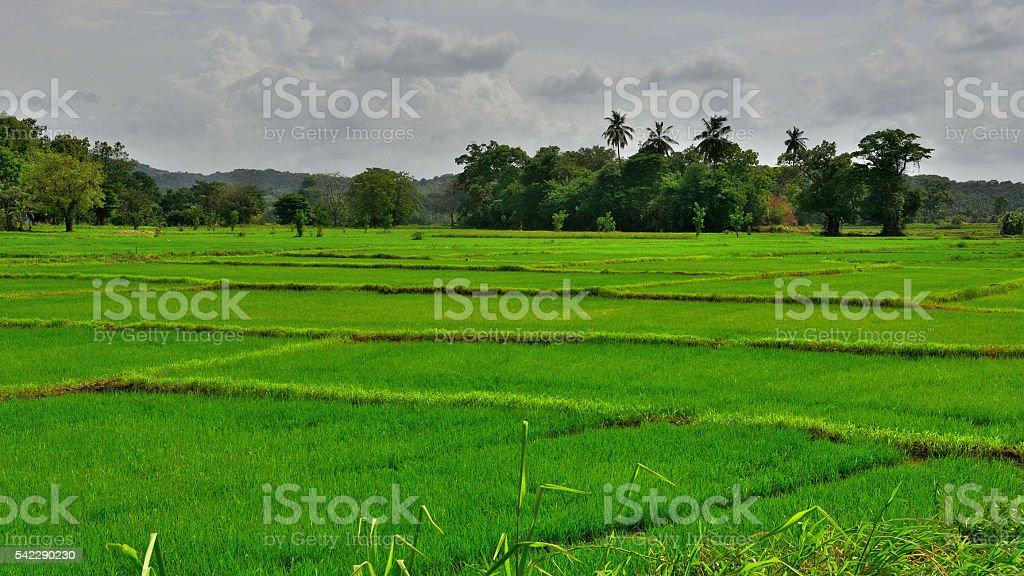 Rice field in Sri Lanka (Asia) stock photo
