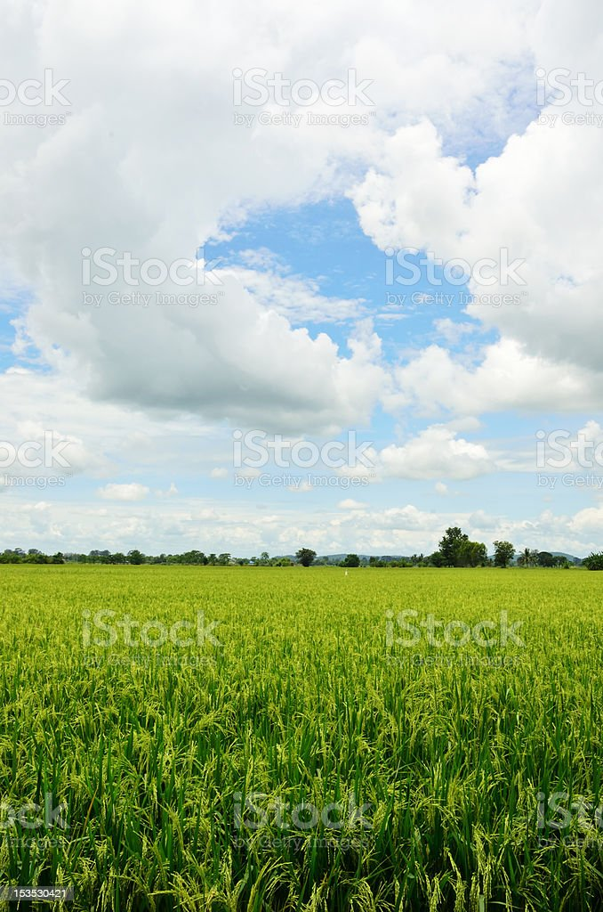 Rice Field in Thailand royalty-free stock photo
