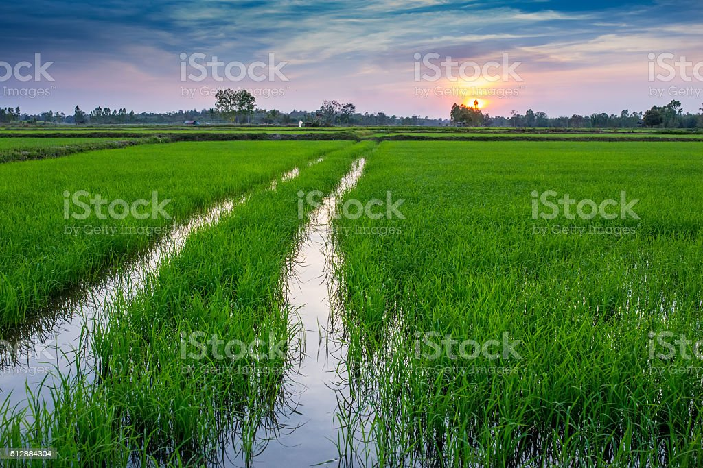 Rice Field in the Morning. stock photo