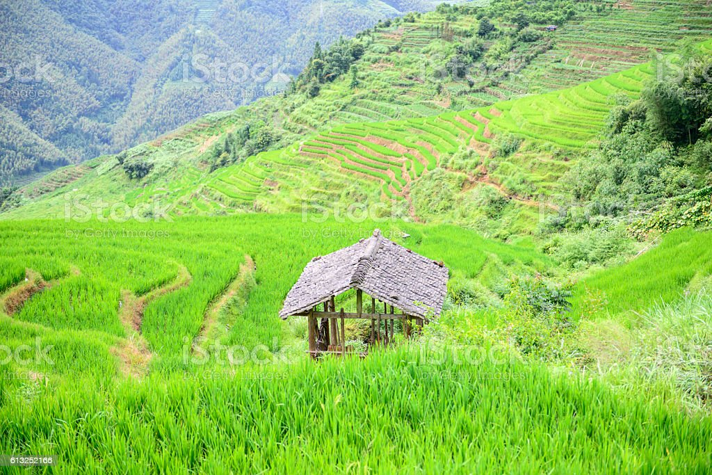 rice field in the nature background. stock photo
