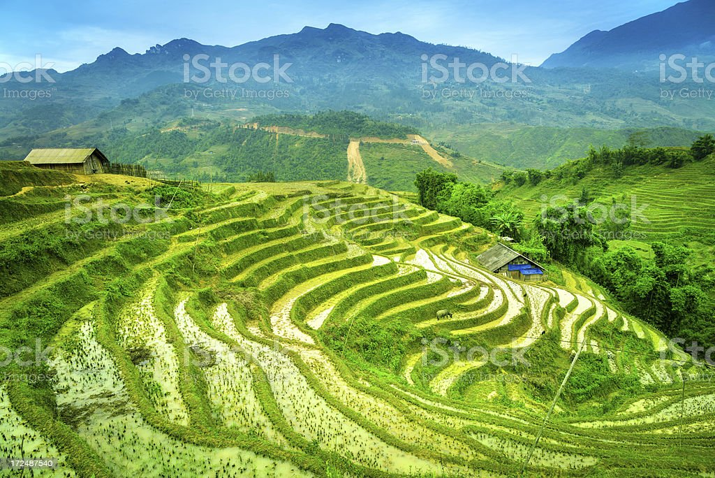 Rice Field in Vietnam stock photo