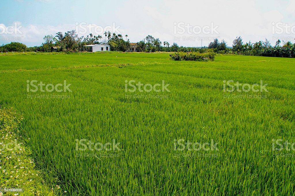 Rizière au Vietnam photo libre de droits