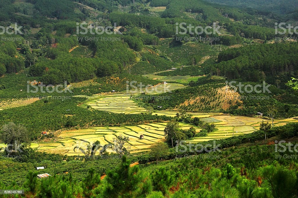 Rice field on hignland stock photo