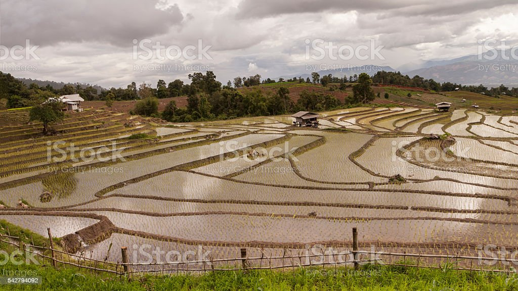 rice field on terraced in north Thailand stock photo