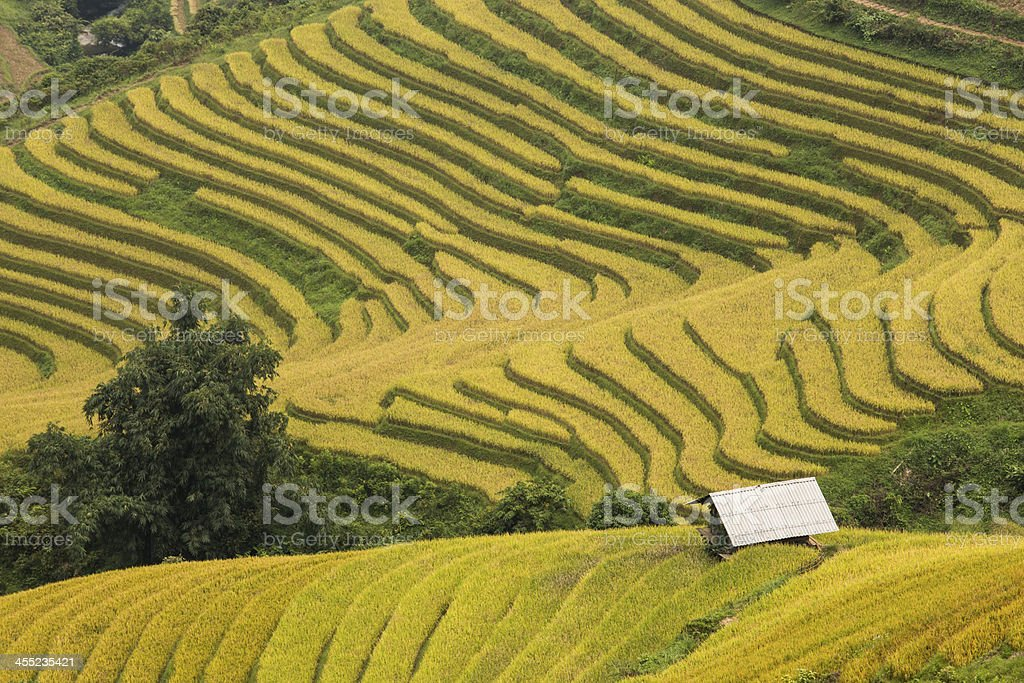 rice field on the mountain at Sapa, Vietnam stock photo