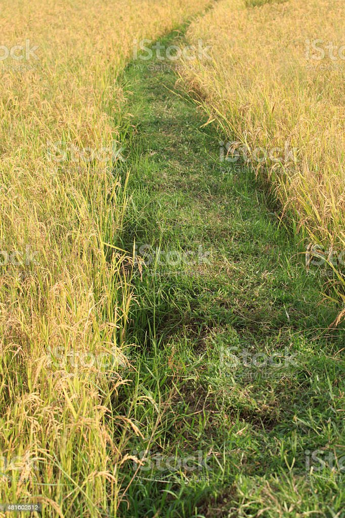 Rice field path in sunshine morning, An Giang, VietNam royalty-free stock photo