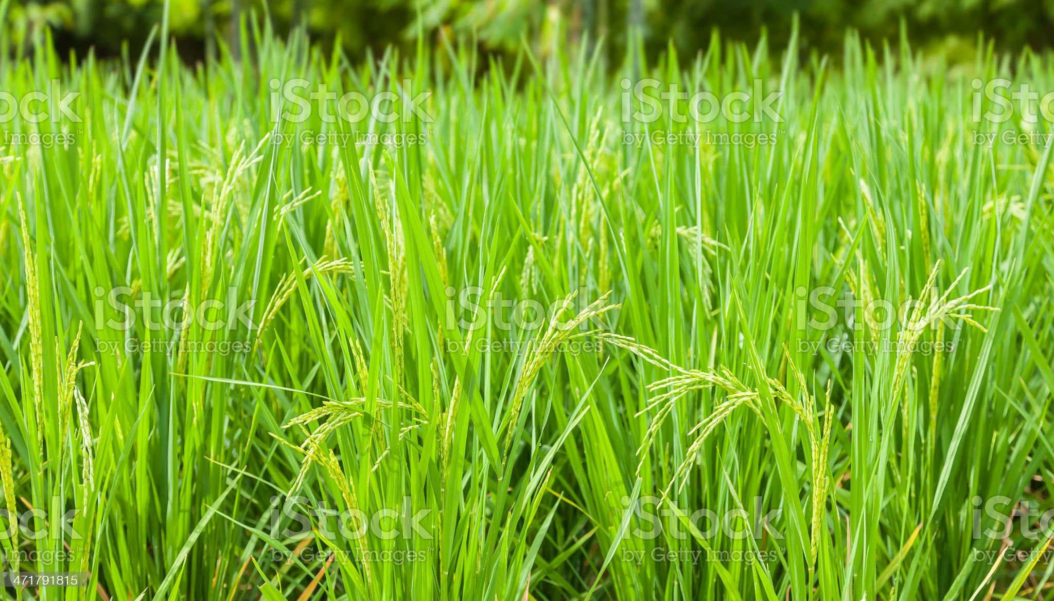 Rice field royalty-free stock photo