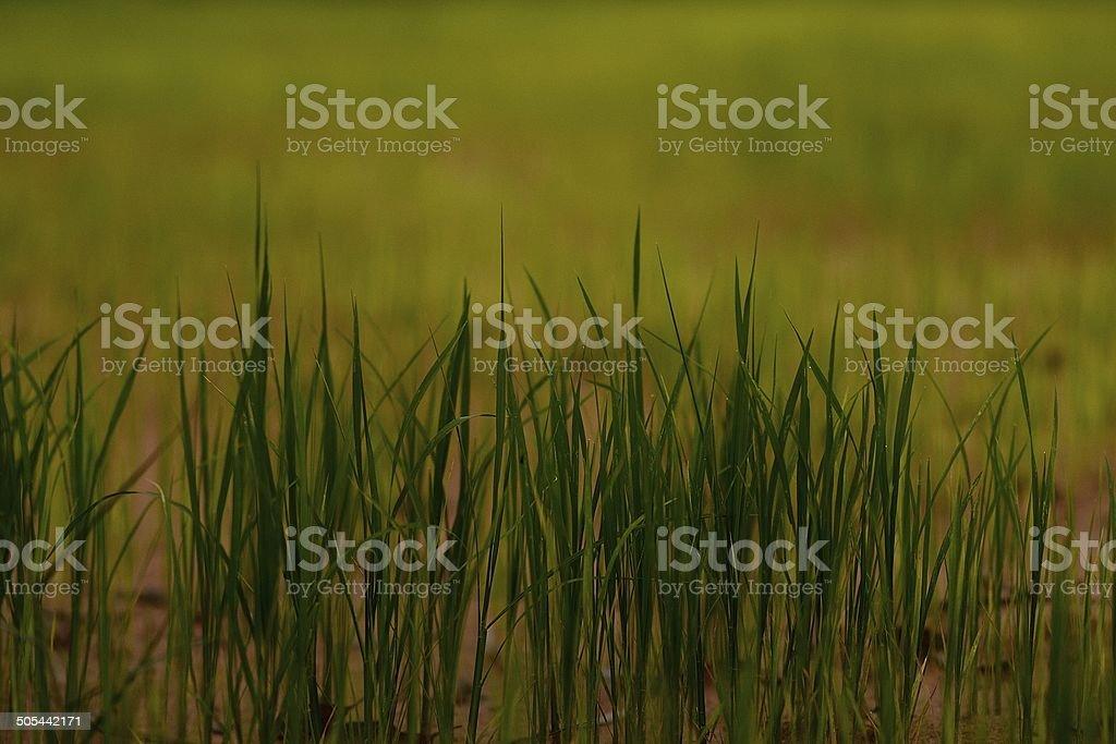 rice field stock photo