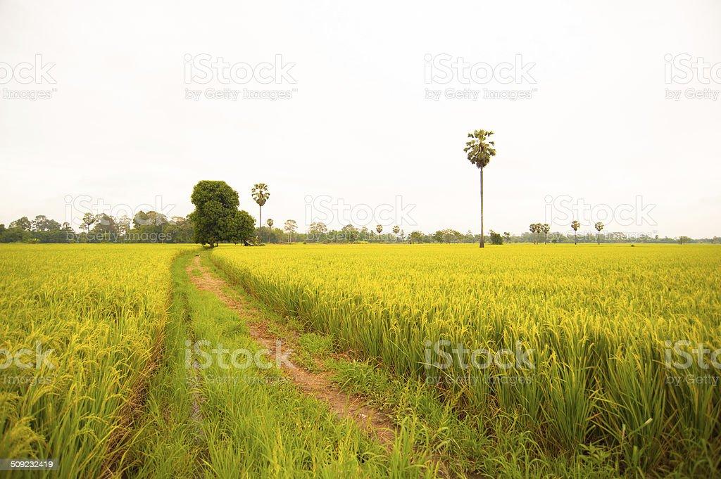 Pole ryżowe zbiór zdjęć royalty-free