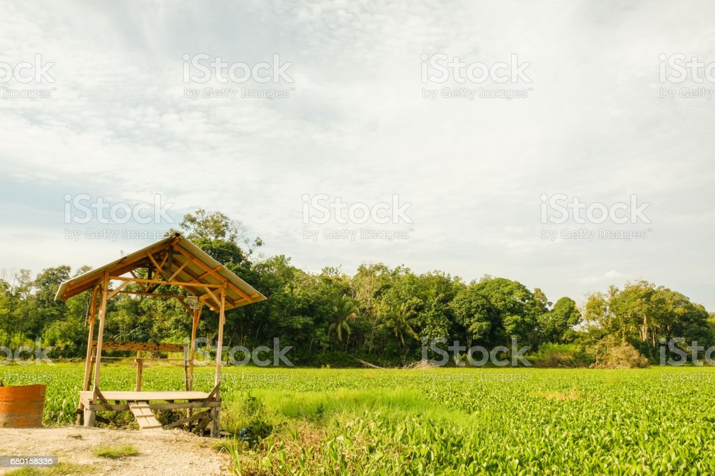 Rice field Riau, Indonesia stock photo