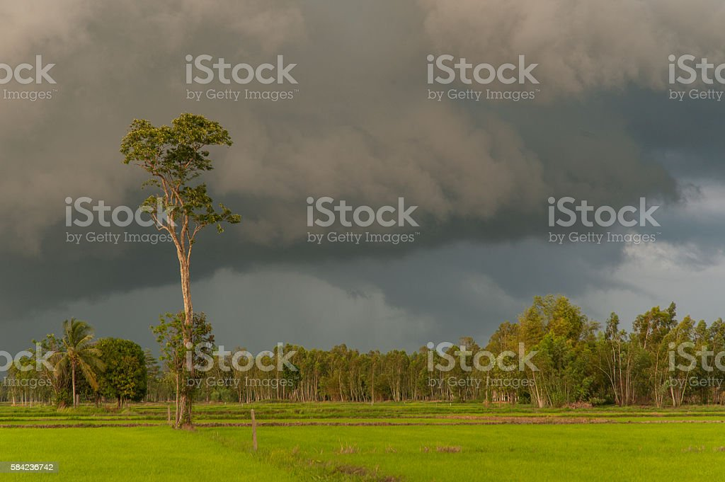 Rice field showing dramatic weather conditions and cloud formati stock photo