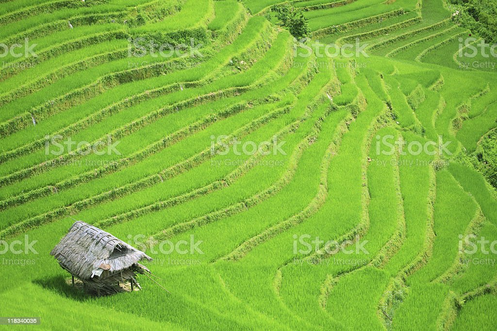 Rice field terraces royalty-free stock photo