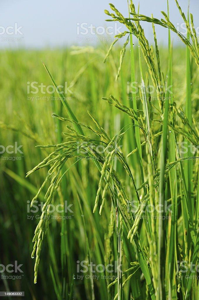 Rice field vertical scene stock photo