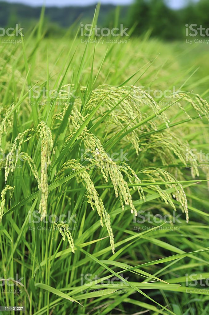 Rice field with bending heavy rice ears ready for harvest royalty-free stock photo