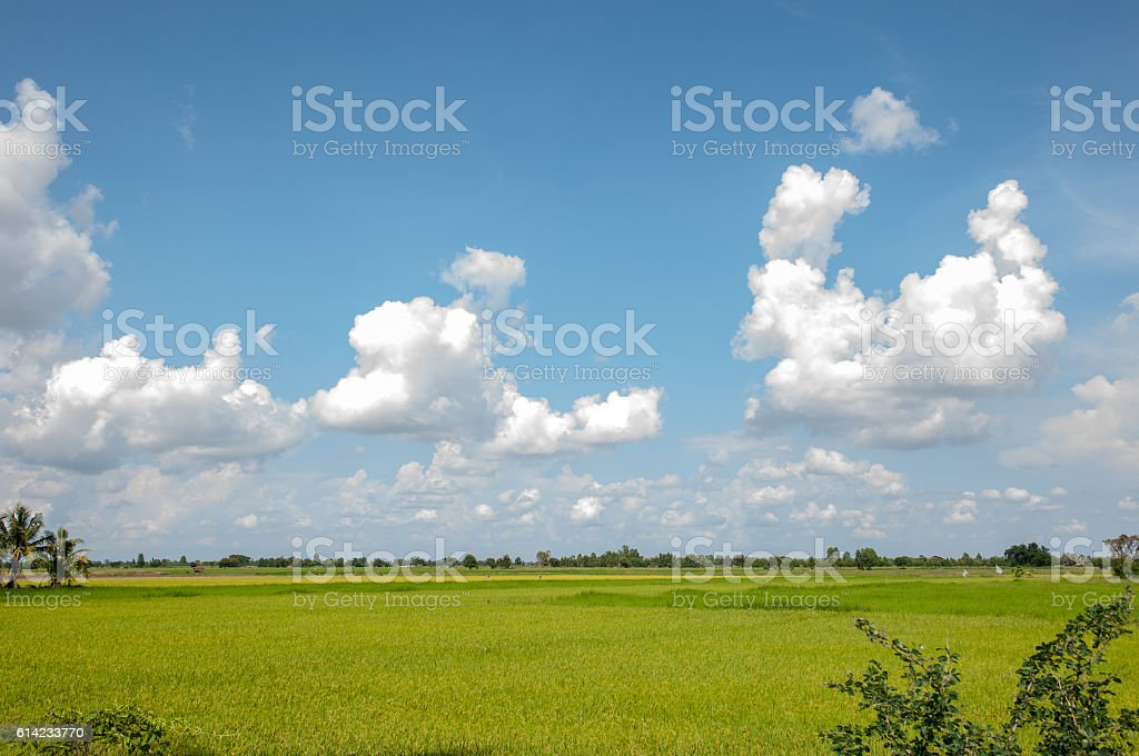 Rice field with blue sky stock photo