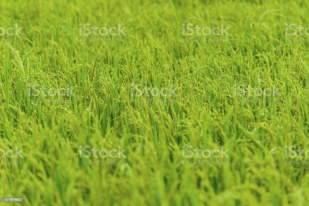 rice field with dew in morning royalty-free stock photo