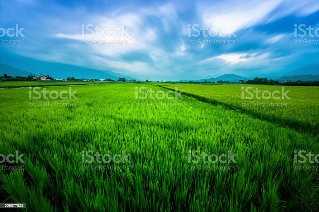 Rice Field with Mountains Background under Blue Sky stock photo