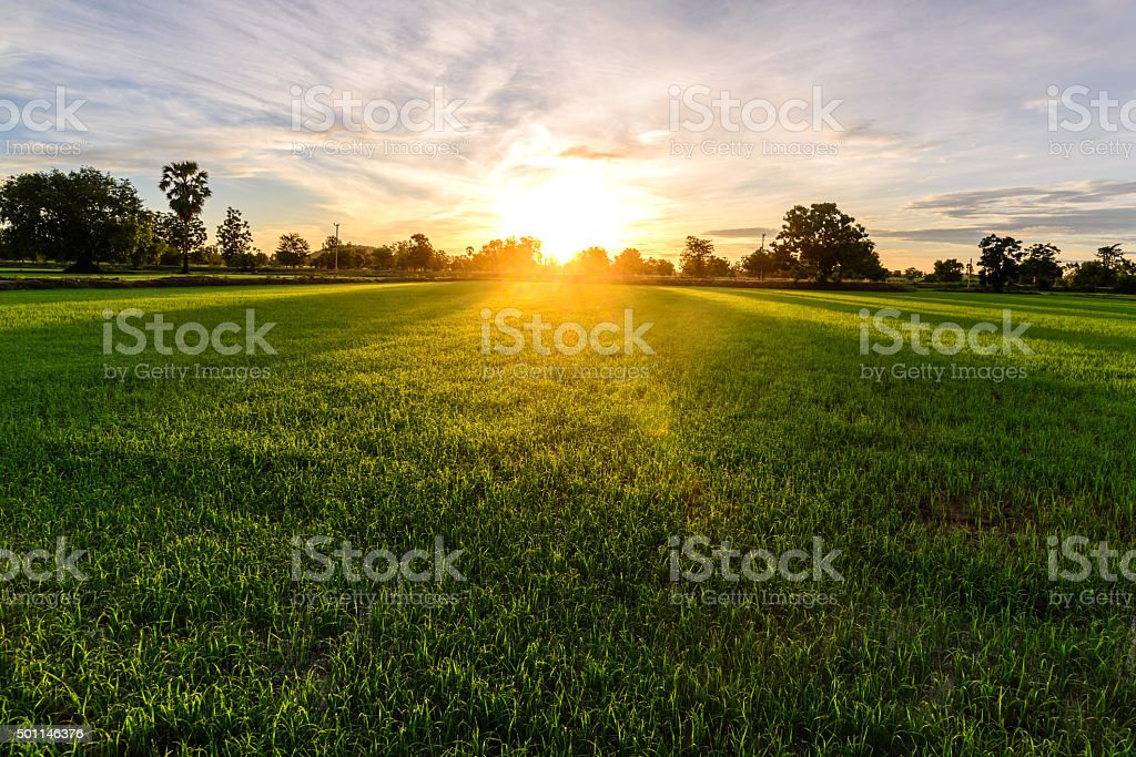 Rice field with palm tree background in morning, Kanchanaburi Thailand. stock photo