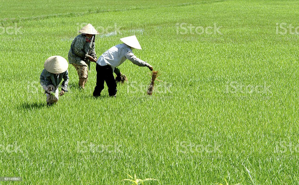 Rice field workers royalty-free stock photo