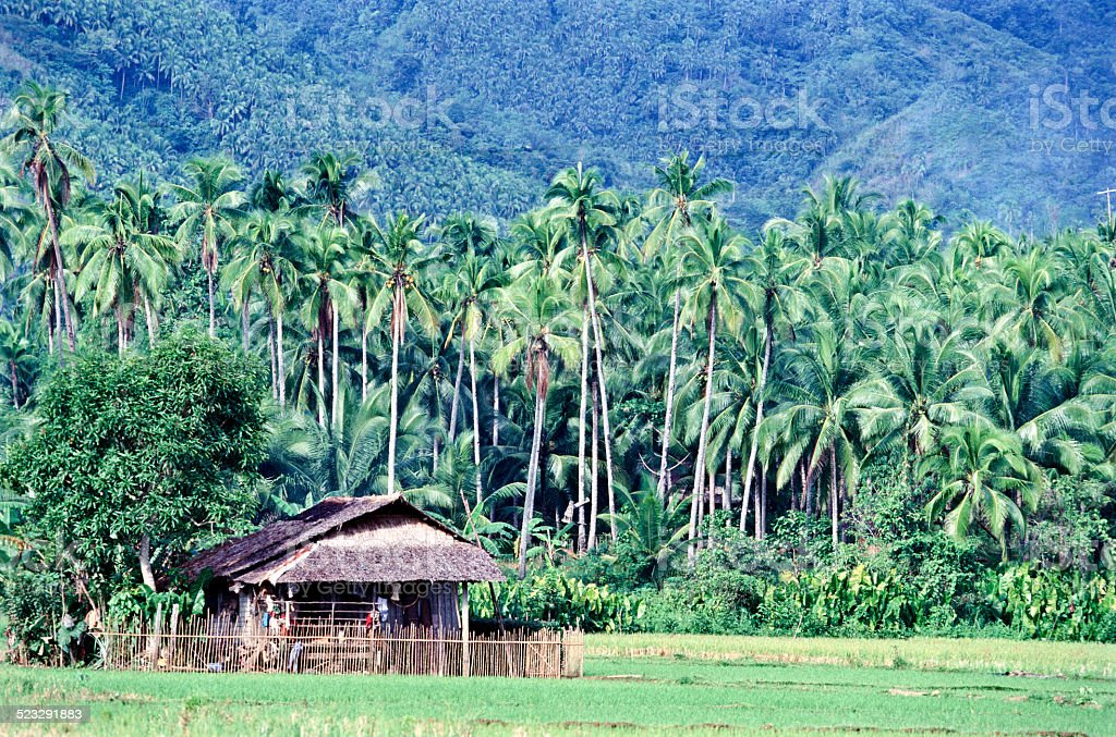 Rice fields and coconut palms stock photo
