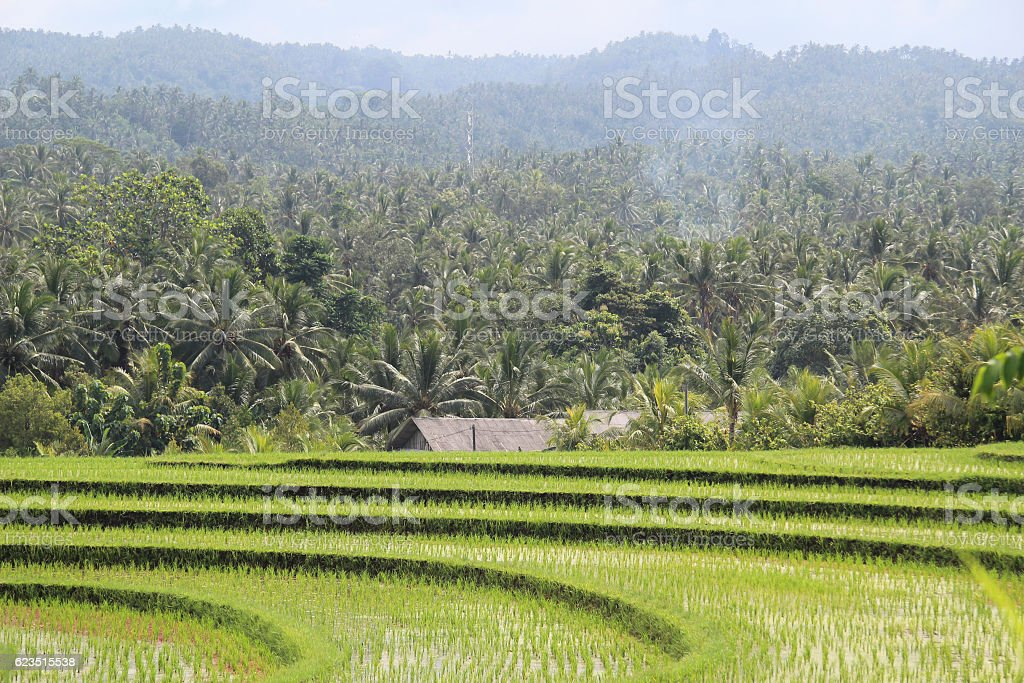 rice fields and palm trees stock photo