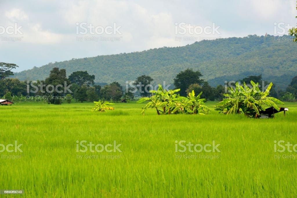 Rice fields down Phanom Rung extinct volcano, Nang Rong district, Isan, Thailand stock photo