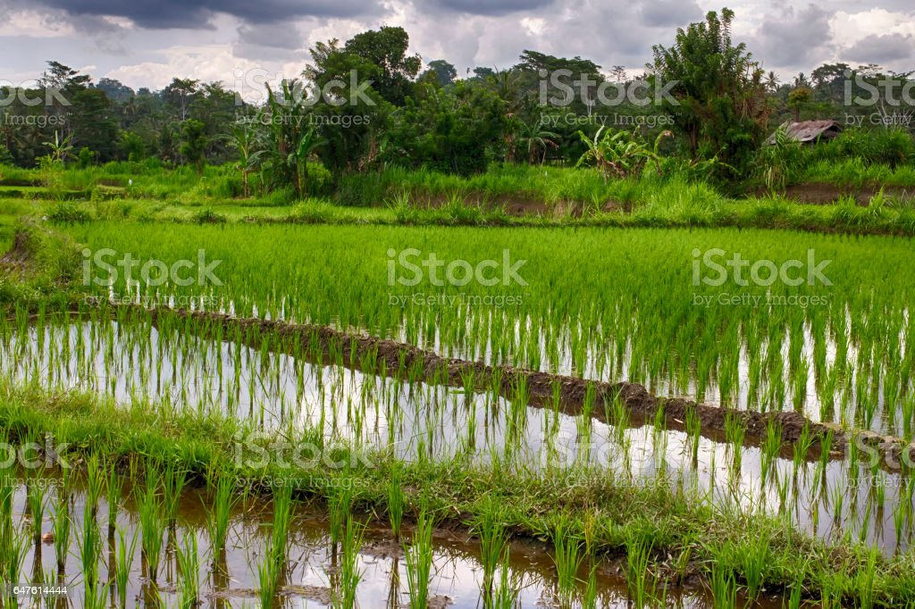 Rice fields in Bali. Indonesia stock photo