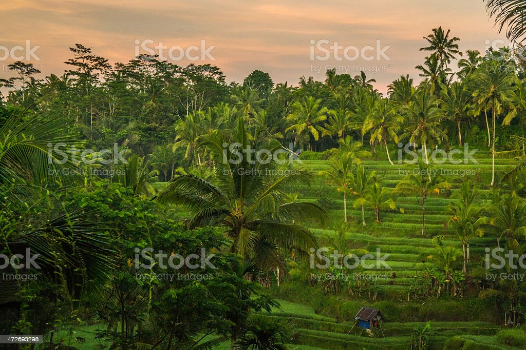 Rice fields in central Bali at sunrise stock photo